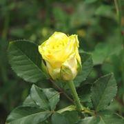 mazzi di rose gialle