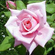 mazzi di rose rosa