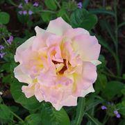 mazzi rose rosa