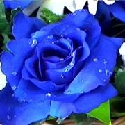 mazzo rose blu