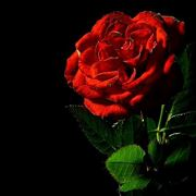 regalare rose rosse