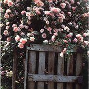 rose antiche inglesi