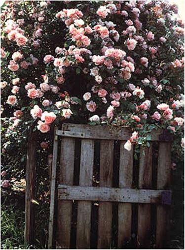 Rose antiche inglesi rose rose antiche inglesi for Rose inglesi