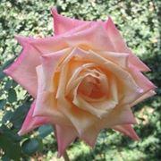 colore rose significato