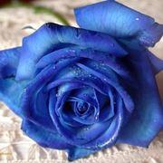 rose blu naturali