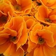 Domanda : albero arancio