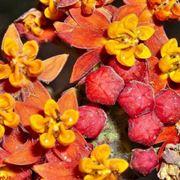 Domanda : Albero di arancio bruciato dal fuoco