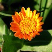 Domanda : Arancio, foglie arricciate
