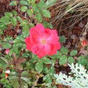 Domanda : nome cespuglio a fiori rossi