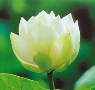 Il biancospino nel linguaggio dei fiori