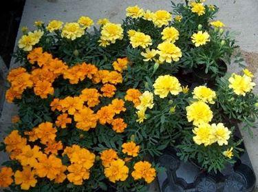 linguaggio dei fiori-9