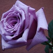 rosa viola significato