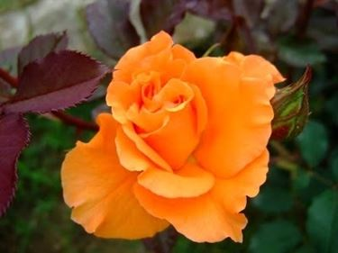rose arancioni significato