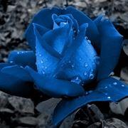rose blu significato