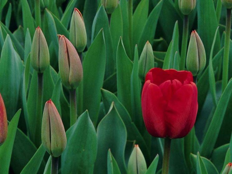 significato del tulipano-1