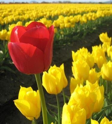significato del tulipano-2