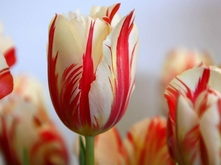 L'amore coi tulipani
