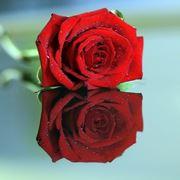 significato della rosa nera