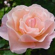 significato delle rose-2