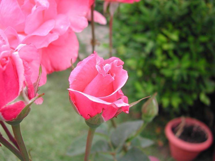 significato delle rose-3