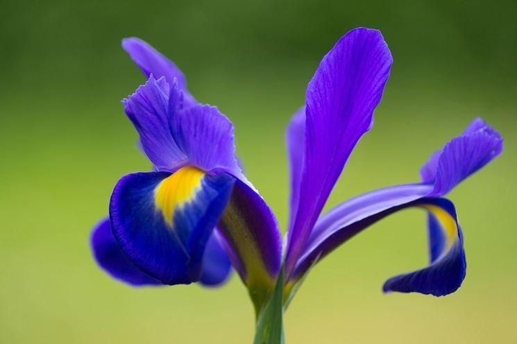significato dell'iris-1