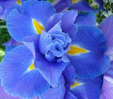significato dell'iris-8
