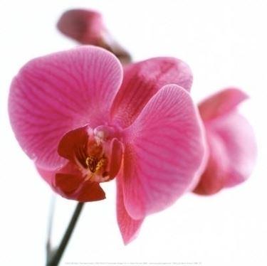 significato dell'orchidea-8