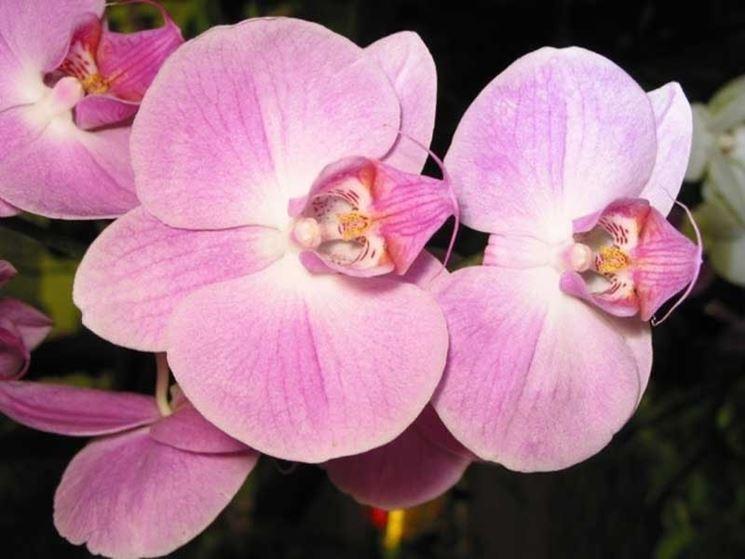 significato dell'orchidea
