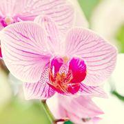 significato dell orchidea