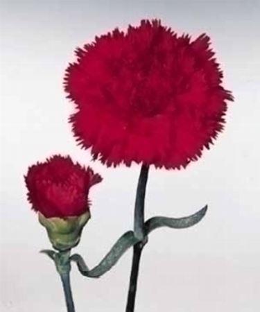 Il garofano rosa