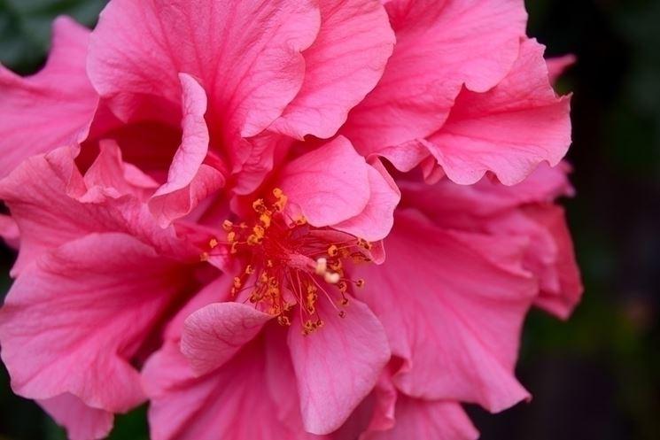Il significato del fiore di ibiscus