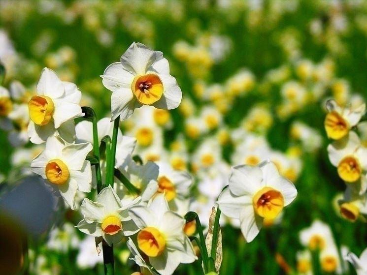 Come il mito di Narciso ha condizionato il fiore