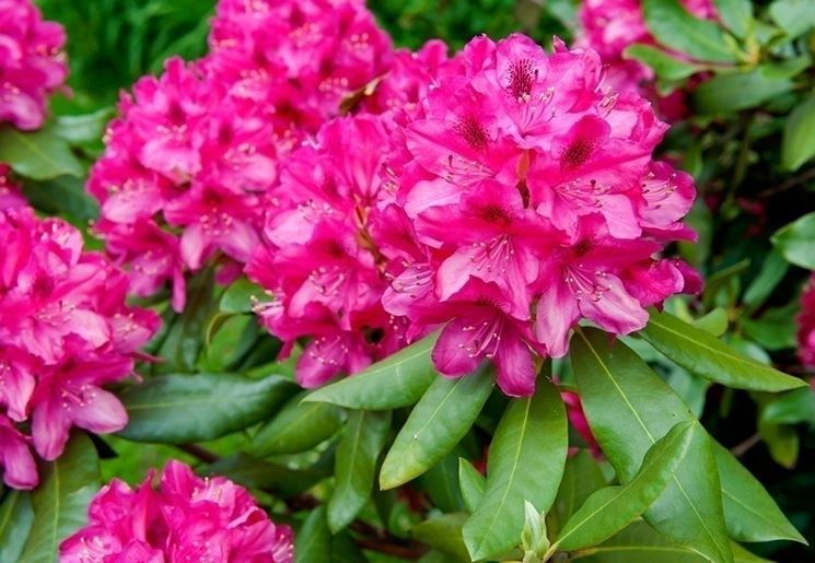 La delicatezza del rododendro