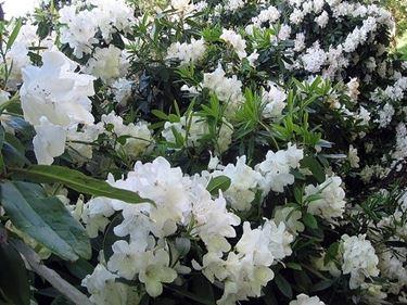 significato rododendro-3