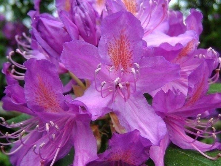 La bellezza del rododendro