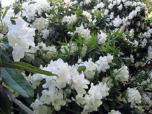 Significato rododendro 3 significato dei fiori - Rododendro prezzo ...
