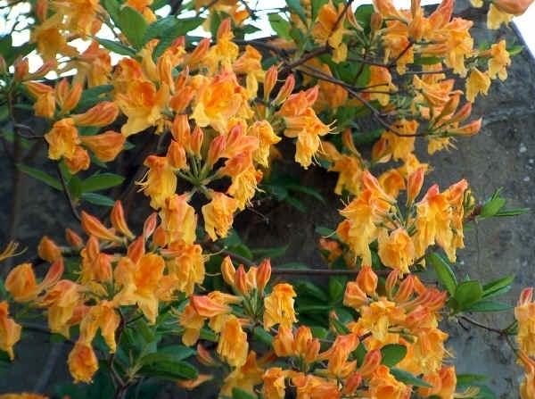 Significato rododendro 4 significato dei fiori - Rododendro prezzo ...