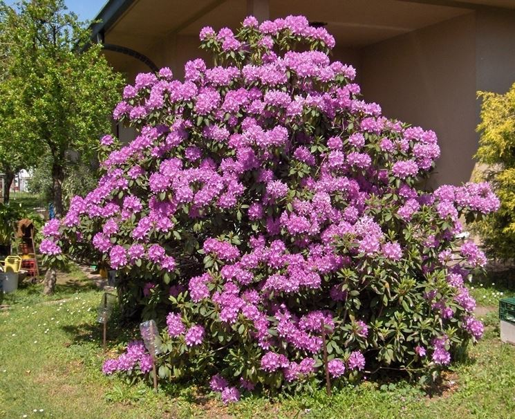 significato rododendro-6