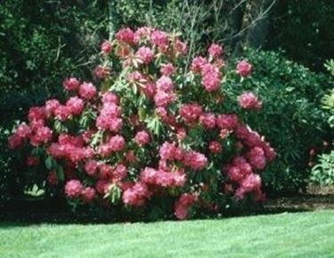 significato rododendro-9