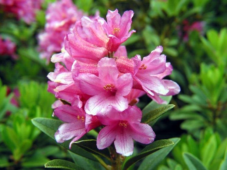 significato rododendro