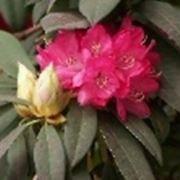 rododendro significato