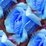 significato rosa blu