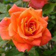 significato rose arancioni