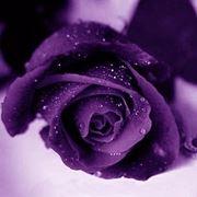 significato rose viola