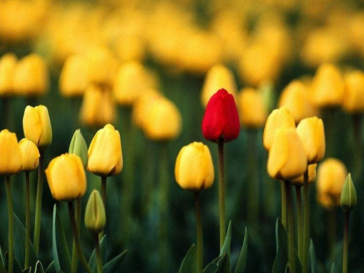 significato tulipano