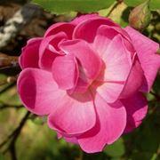 Una rosa inglese in un giardino italiano