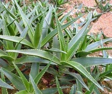 aloe pianta-3