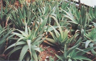 pianta aloe-3