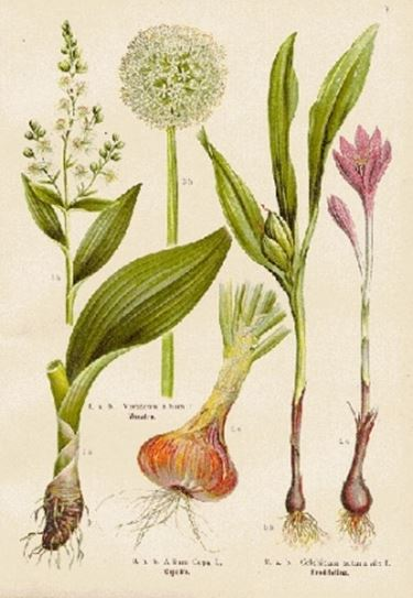 Elenco delle principali piante medicinali (C - F)