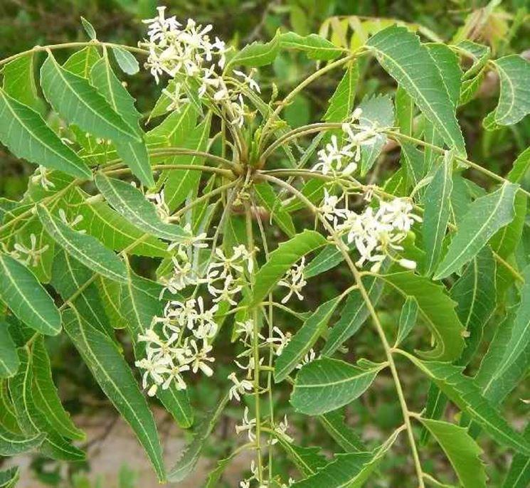 olio di neem-6